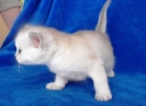 Burmilla kittens - litter BON in 2011-02